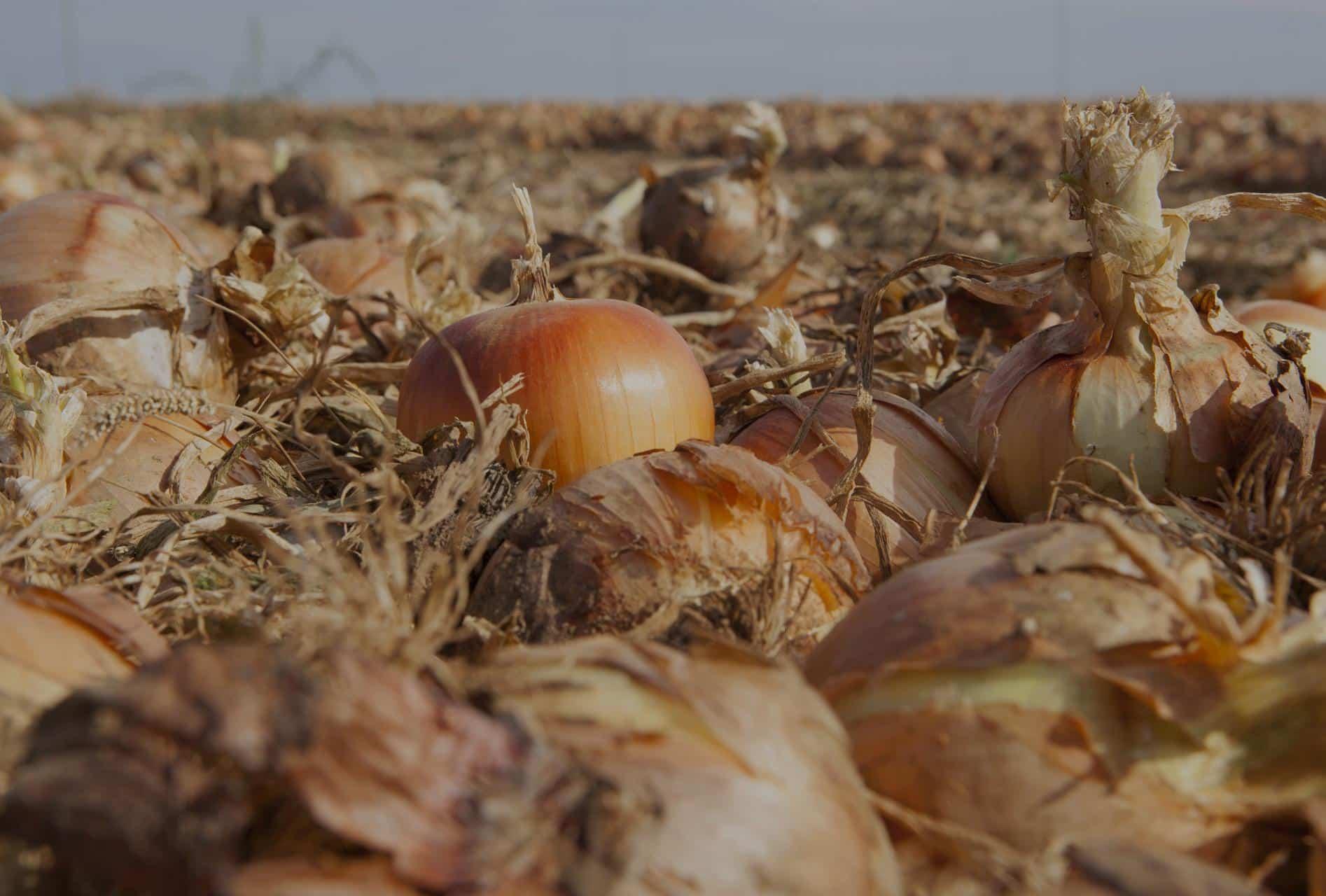 Cebollas Marchite producto natural