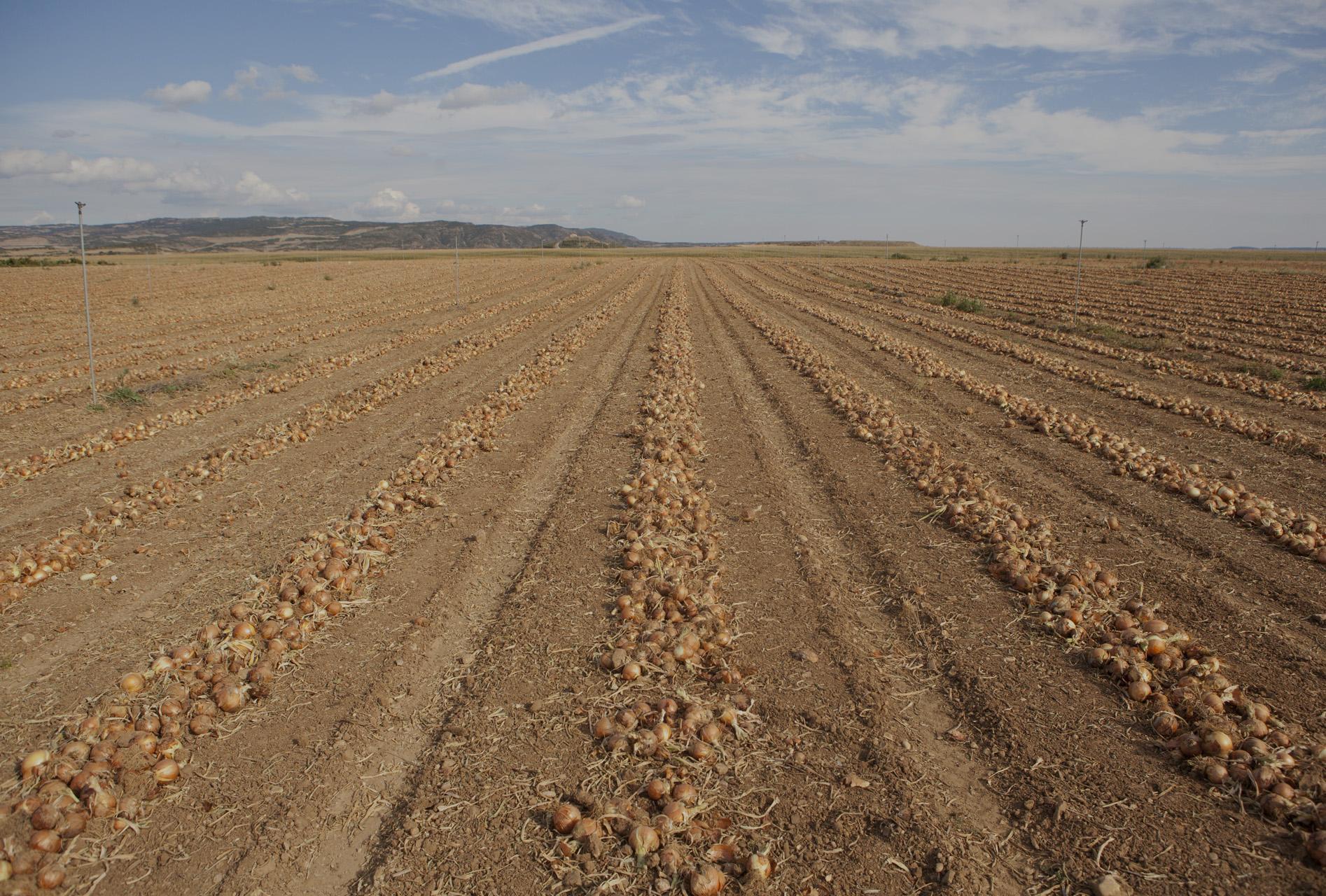 cebollas-marchite-nuestro-campo
